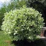 Georgia Ficus